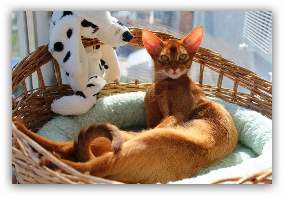 #Абиссинская кошка, #Shafran Ineri