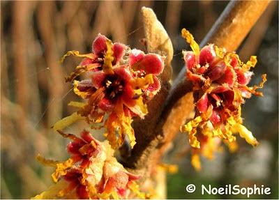 Fleurs d'hamamélis