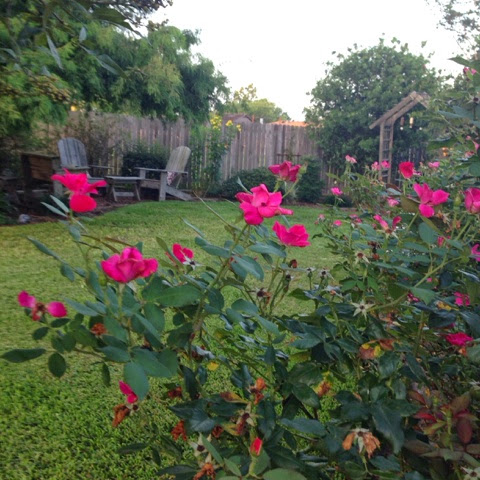 knockout roses texas