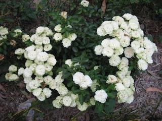 Chậu hoa hồng Green Ice Rose duy nhất tại vườn nhà