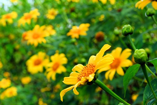 hoa quỳ dại