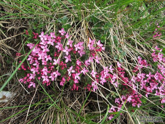 flori roz de munte