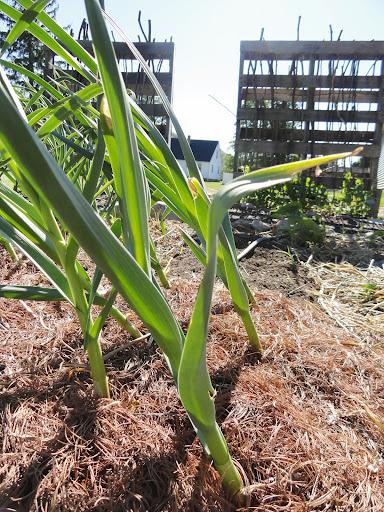 Leaning Garlic