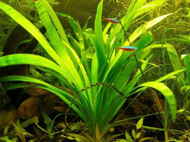 Сагиттария широколистная (Стреролист широколистный) (Sagittaria platyphylla)