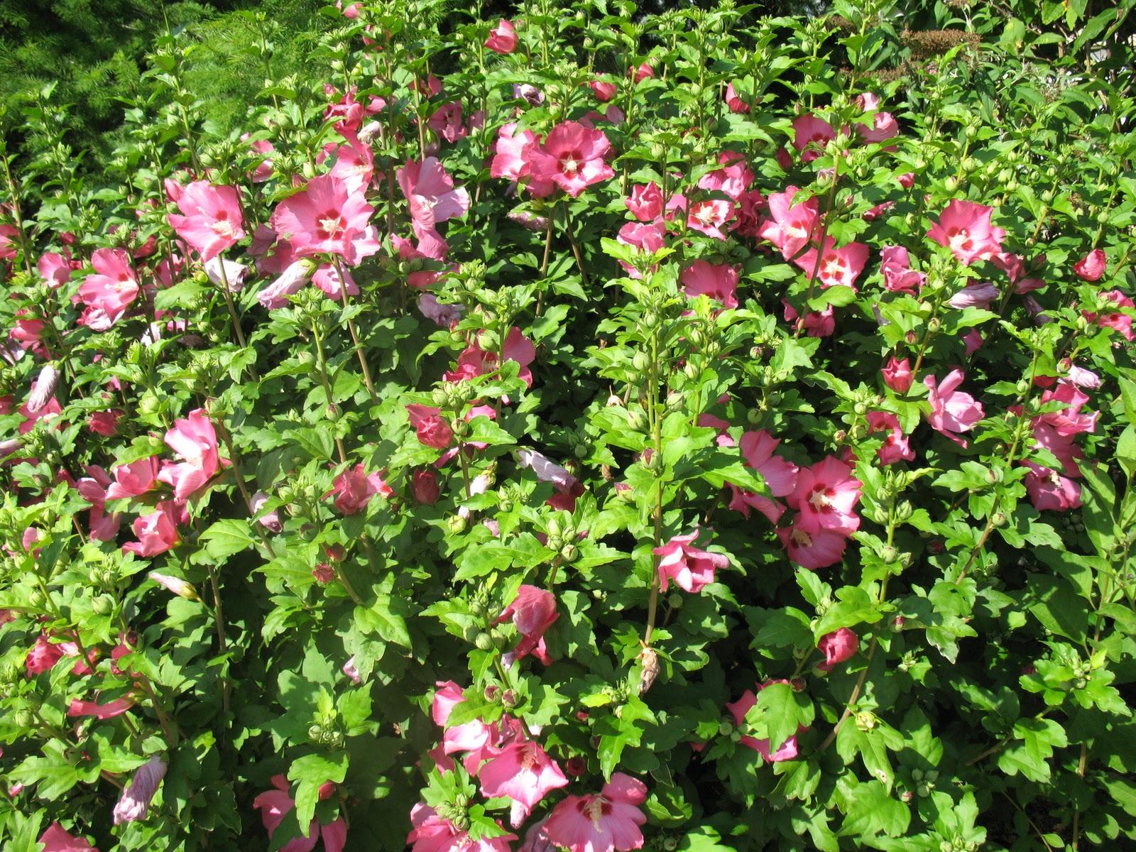 Roses du jardin Chêneland: Taille des arbustes à floraison estivale