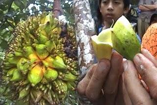Pohon Nangka Berbuah Pisang Rasa Durian