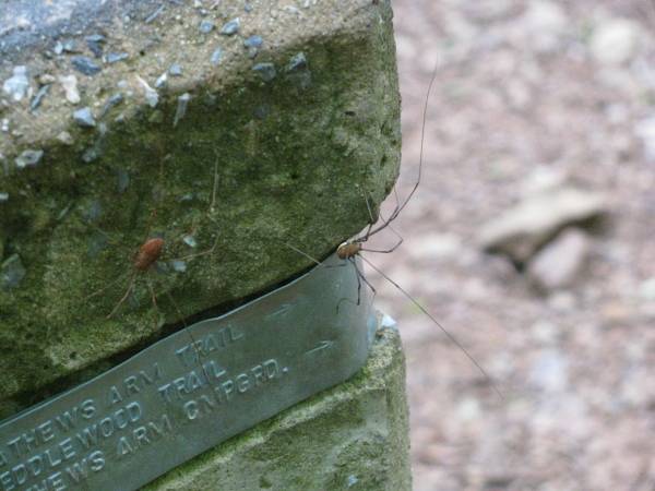 daddy longleg spiders on the trail post