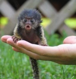 Finger monkey pet on human hand