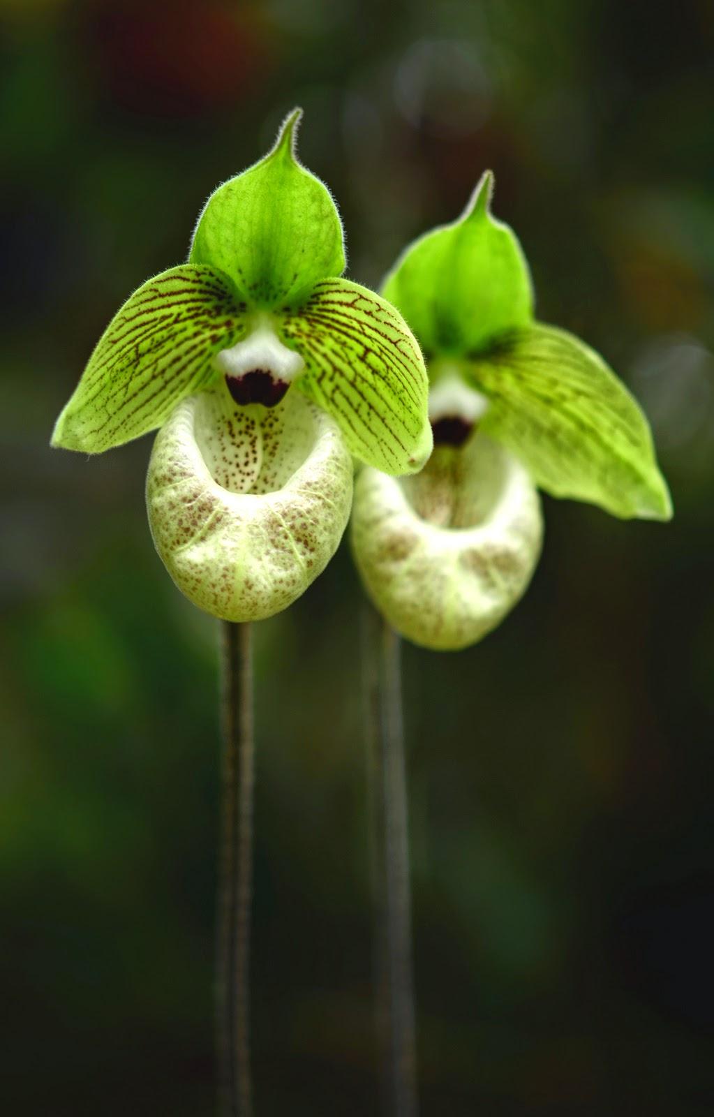 đặc biệt ngồng hoa hài ráp có thể cao 50-60cm mang một hoa to đơn độc
