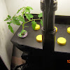 3 week cherry tomato - now alone in final Aerogarden, 5th branch pruned