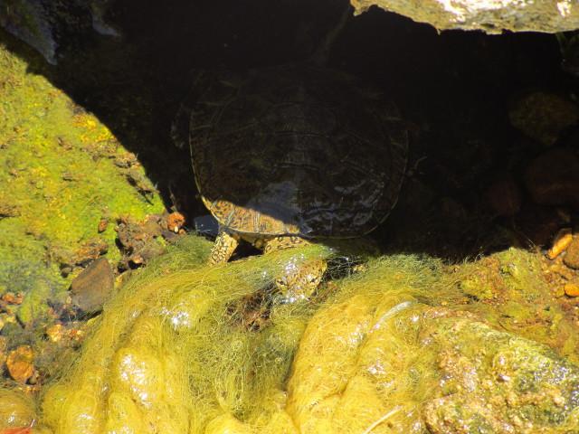 turtle hiding beneath rock and moss