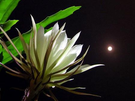 Ảnh ánh trăng và hoa quỳnh hương