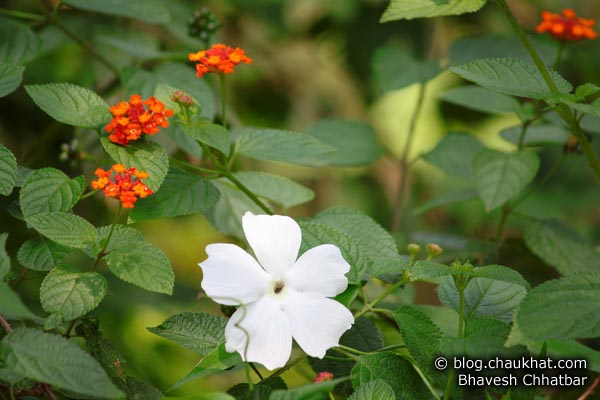 Sweet Clock Vine Flower [also known as White Lady, scientific name is Thunbergia Fragrans, Marathi name is Chimine, Malayalam name is Noorvan-valli, Tamil name is Indrapushpam]