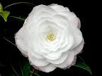 淡桃色に花弁の端が桃色ぼかし 千重咲き 小輪