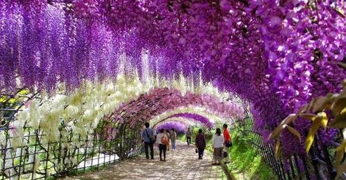 Японский сад цветов Кавати Фудзи