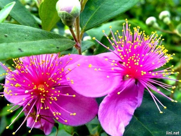thơ tình màu tím hoa sim