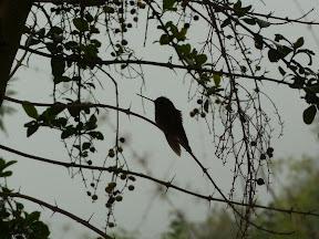 Silhouette de colibri