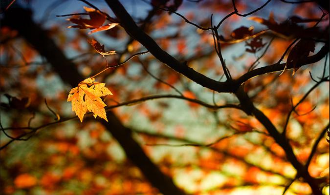 chiếc lá vàng mùa thu