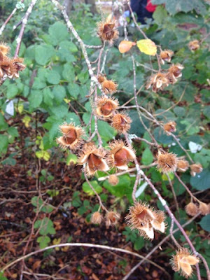Beech Nuts - Mudpies and Foodie Quine Autumn Bramble Ramble