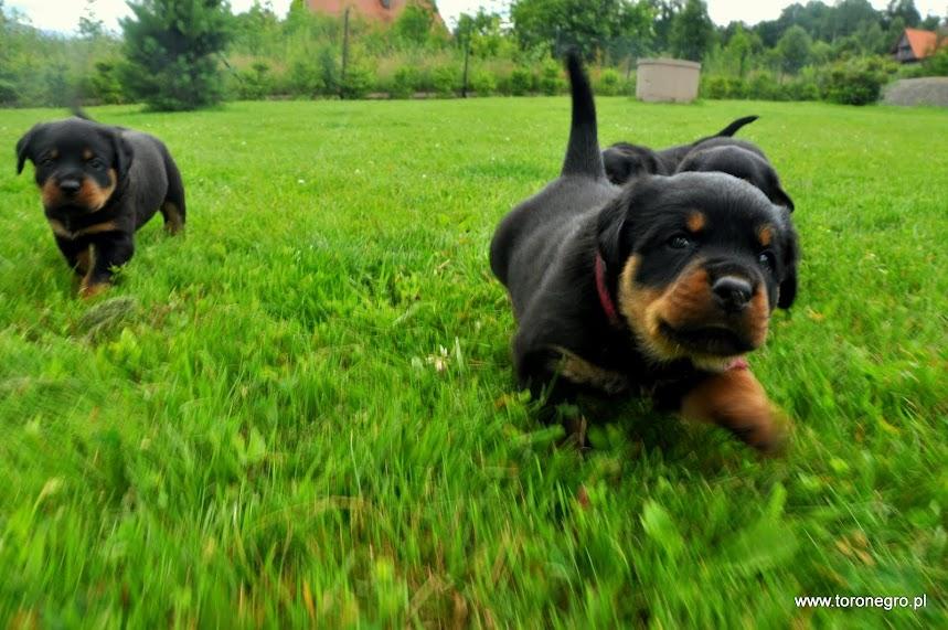 Szczenię rottweiler z domowej hodowli psów