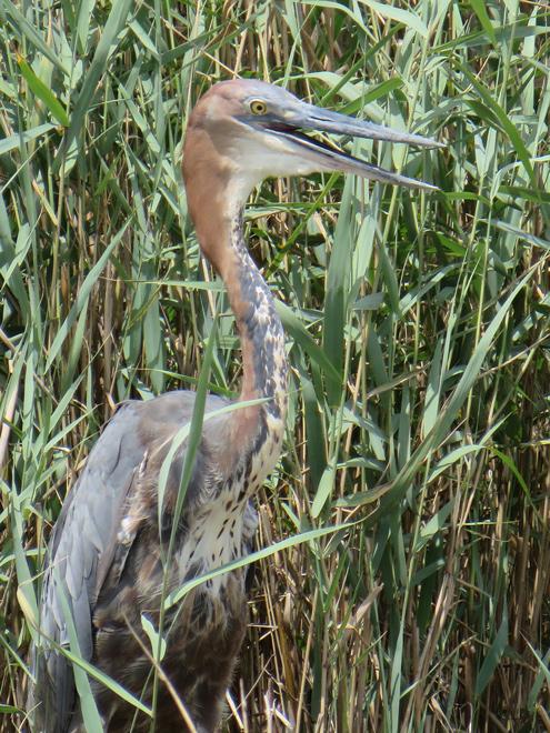 Reuzenreiger (Ardea goliath), St. Lucia Lake, iSimangaliso Wetland Park, Zuid Afrika