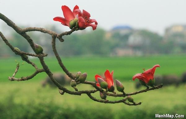 tình thơ mùa hoa gạo