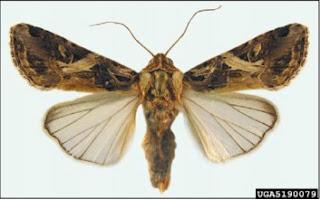 Giai đoạn trưởng thành, bướm có chiều dài thân từ khoảng 20-25mm