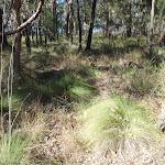 Tussock grass along Finchs Line (163309)