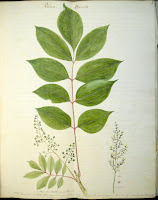 A watercolor illustration of Rhus Vernix, a stem of several pointed leaves with smooth edges.