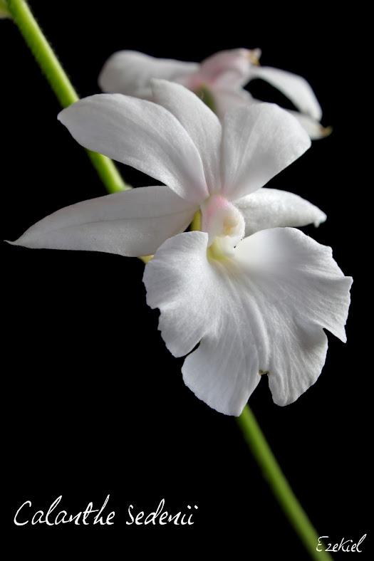 Calanthe Sedenii (Veitchii x vestita) IMG_5311