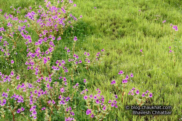 Shrubs of purple orchids at the Kas Plateau