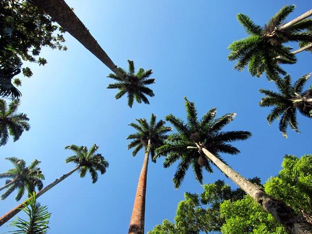 Palm trees in the botanical garden in Rio de Janeiro Brazil