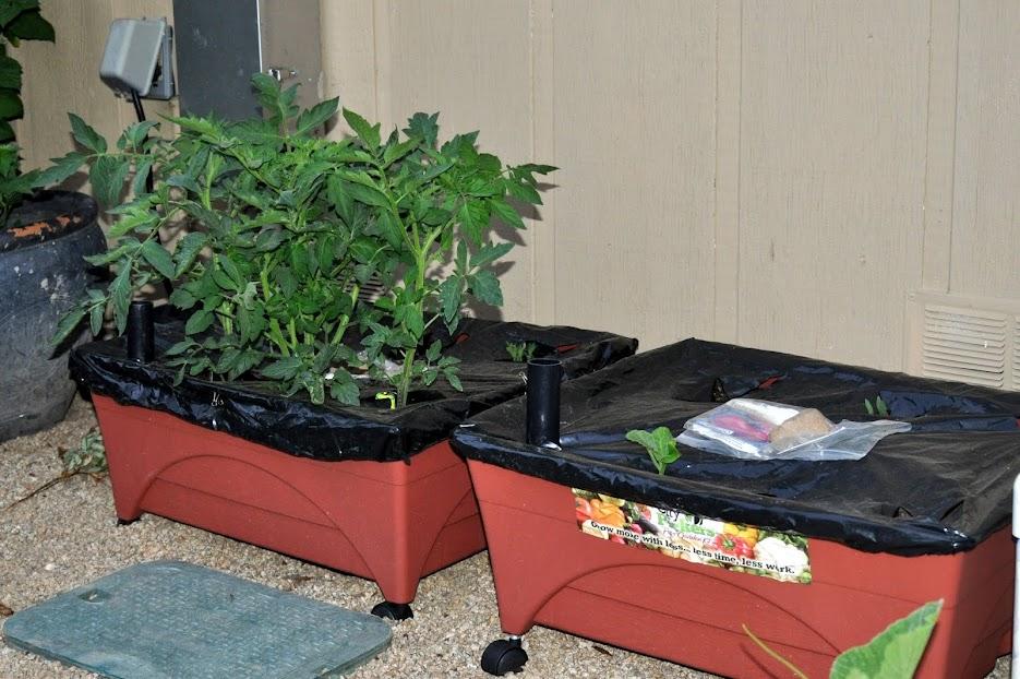 City Picker Update Tiny Green Tomatoes Gardening Nirvana