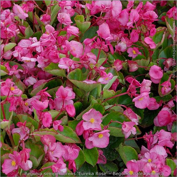 Begonia semperflorens 'Eureka Rose' - Begonia stale kwitnąca