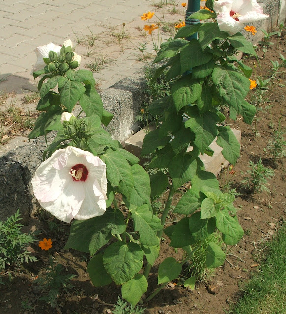 Hardy Hibiscus Pakistan Gardening Forum