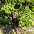 45 pri každom z prítomných stromov môžeme vidieť kvalitu sadeného materiálu - tu detail krásneho nebari.JPG