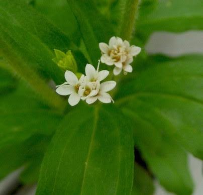 Stewia Stevia rebaudiana kwiat