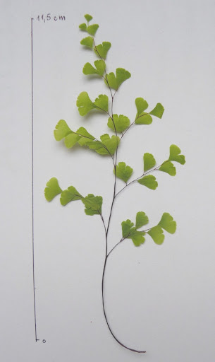 Adiantum delikatne liść Adiantum tenerum leaf