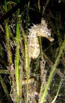 Shorthead seahorse (Hippocampus breviceps)