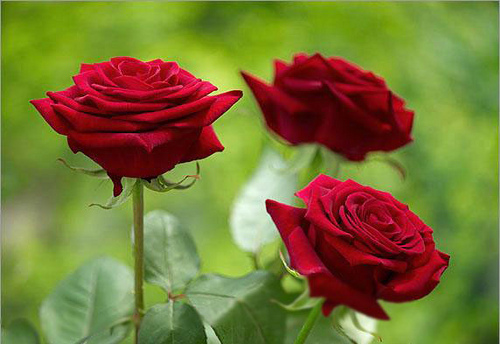 tải ảnh hoa hồng nhung