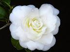 白色 千重咲き 各弁内曲 大輪