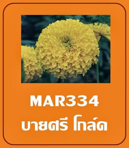 เมล็ดพันธุ์ดาวเรือง บายศรีโกลด์ ดาวเรืองดอกสีเหลือทอง เหมาะสำหรับปลูกในฤดูหนาว
