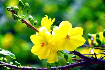 Kết quả hình ảnh cho hoa mai ngay tet
