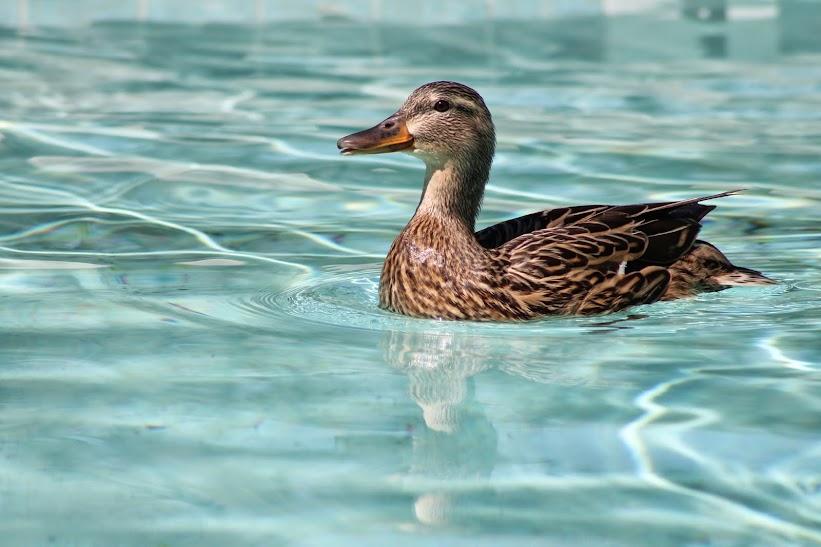 วิธีช่วยเป็ดน้อยขึ้นจากสระว่ายน้ำ