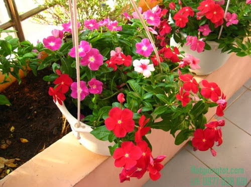 Hoa dừa rũ