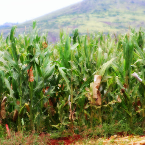 GMO corn growing on Oahu