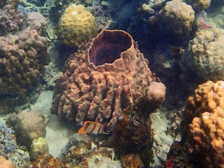 Barrel Sponge, Chindonan Island, Palawan, Philippines.