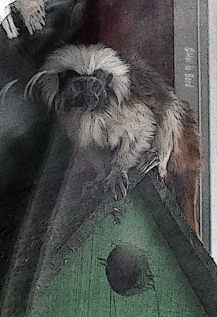 maimuta tamarin zoo piatra neamt