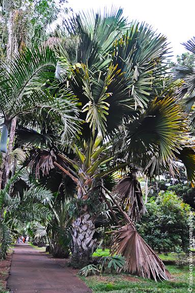 Пальма Талипот