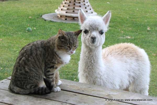 Lacey the alpaca with her kitty friend